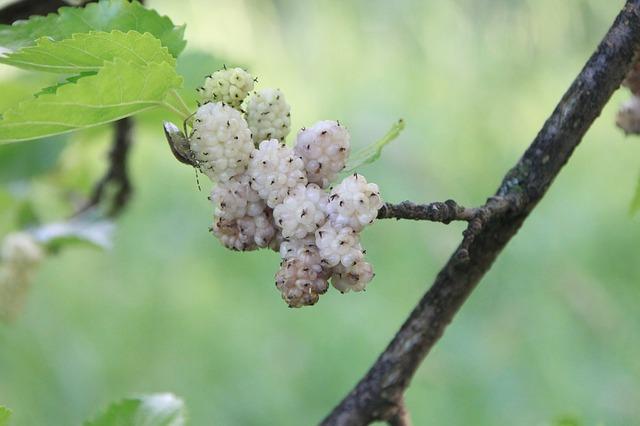 bílý plod na stromě